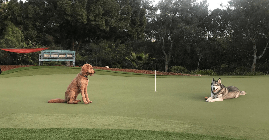 Dogs on artificial turf