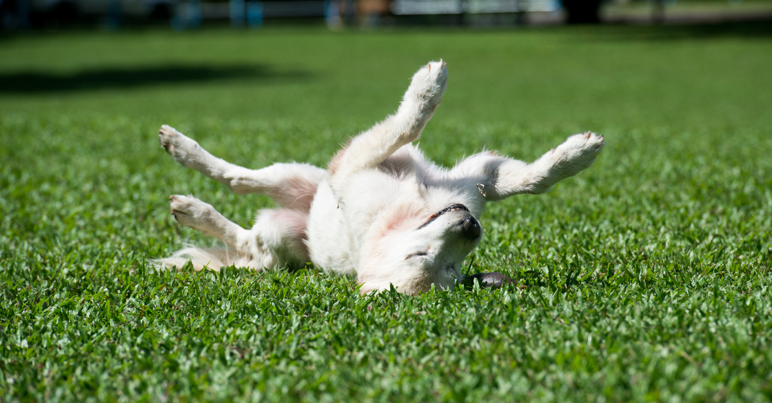 Small dog rolling in artificial turf